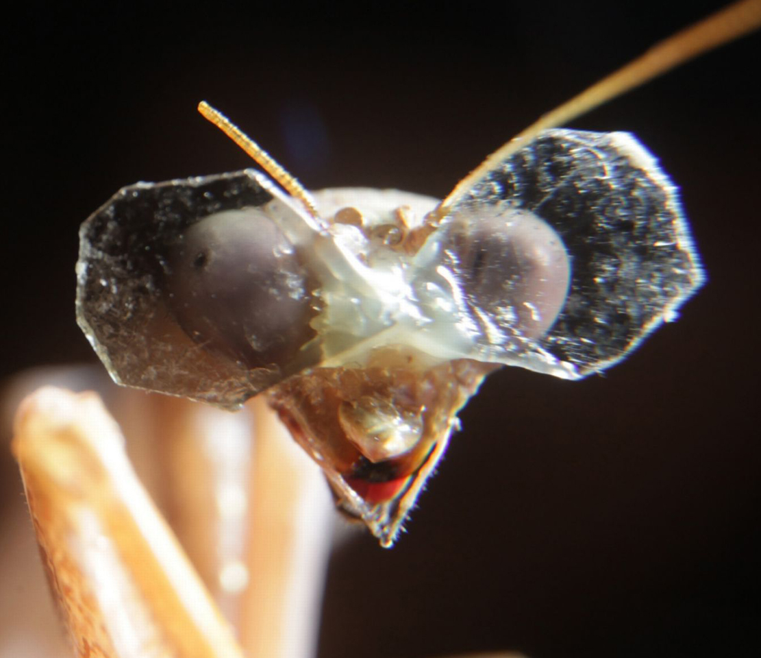Praying Mantis in 3D Sunglasses. University of Newcastle experiment 2014. The lens cutting leaves something to be desired in workmanship but the insect seems to be smiling anyway.