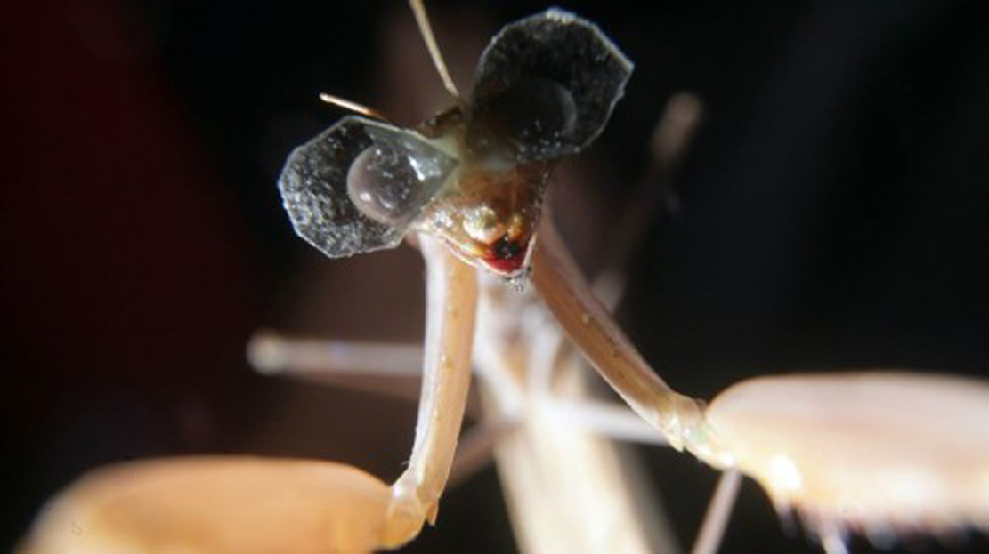 The smiling praying mantis extends its arms in a gesture of welcome.   It's smiling, too.